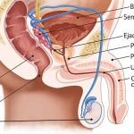 Anatomie des Mannes, Samenerguß